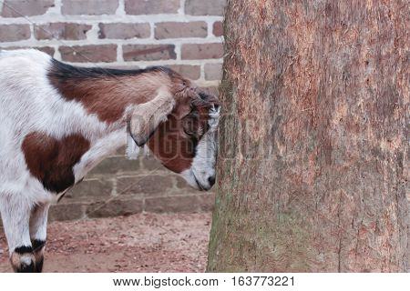 Goat standing by tree in front of brick wall