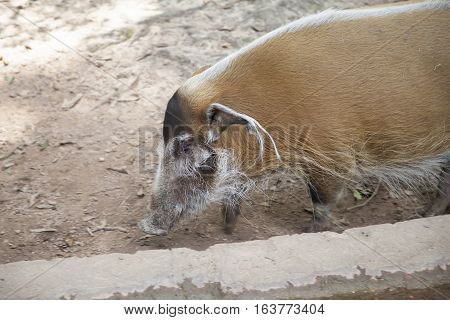 Close up of a red river hog (Potamochoerus porcus)