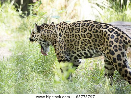 Close up profile of a yellow jaguar yawning