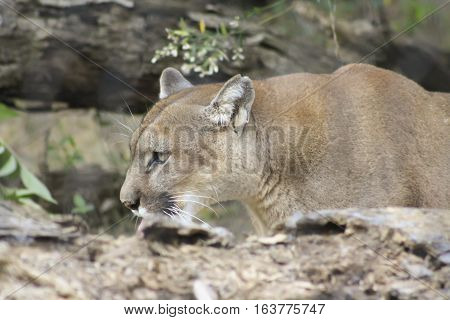 Close up of a mountain lion crouching behind a log