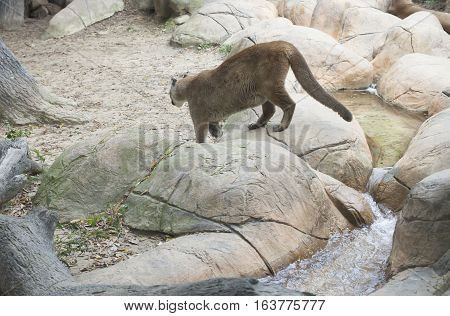 Mountain lion in the distance carefully climbing down rocks