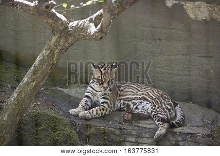 Ocelot (Leopardus pardalis) resting on a ledge