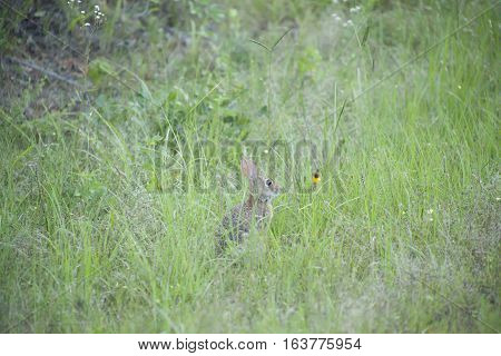 Eastern cottontail rabbit hiding in tall grass