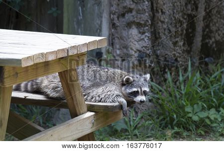 Racoon, also known as a washing bear, resting on a picnic table bench