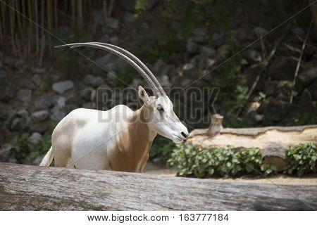 Scimitar oryx (Oryx dammah) in the distance