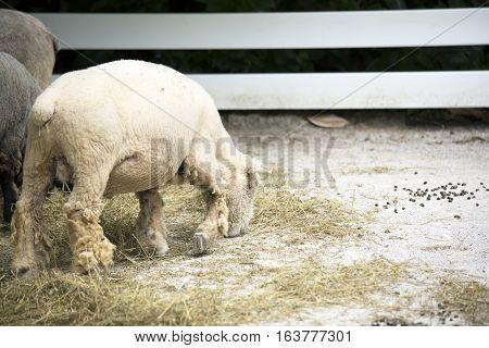 Wooly farm sheep grazing on feed hay