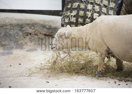Farm sheep contently grazing on feed hay