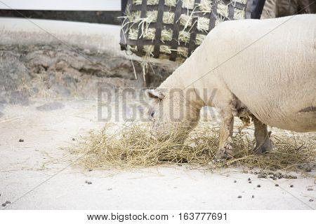 Close up of a farm sheep grazing on hay