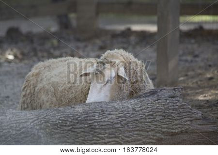 Wooly sheep hiding behind a fallen tree