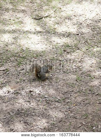 Squirrel retrieving a buried acorn in the dirt