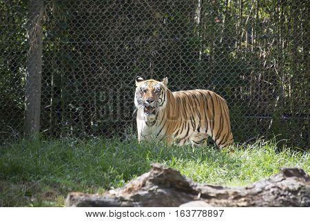 Bengal tiger (Panthera tigris tigris) looking forward menacingly