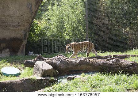 Bengal tiger (Panthera tigris tigris) pacing nervously