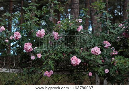 Pink Rose Flower Trellis In Dalat City