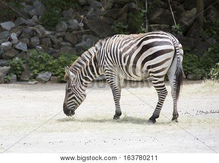 Zebra grazing alone in an open area