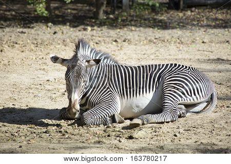 Lone zebra resting in a dusty area