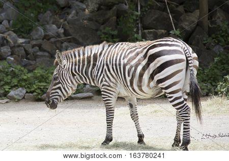 Zebra standing in an open area alone