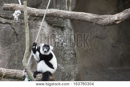 Black and white ruffled lemur playing on a rope