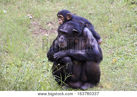 Young chimp hangs on adult chimp's shoulders
