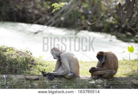 Geoffroy's spider monkeys relaxing on a log