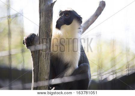 Diana monkey guenon climbing up a tree