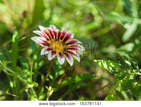 Lonely white and purple gazania in sunny garden.