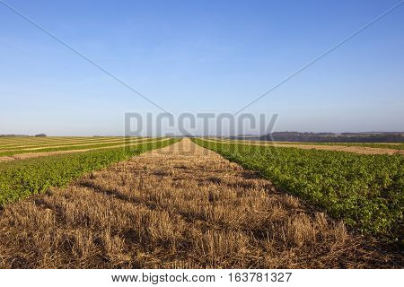 Mustard And Straw Stubble