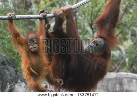Mother and baby orangutan hanging from a rope