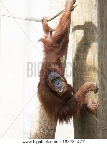 Playful orangutan hanging sideways from a rope