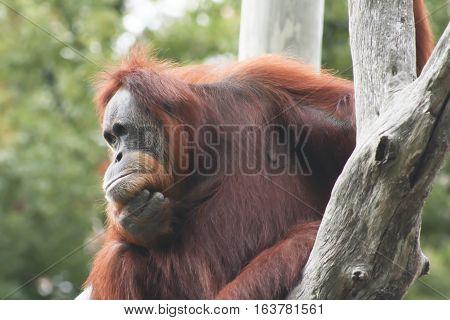 Close up of an orangutan staring into space