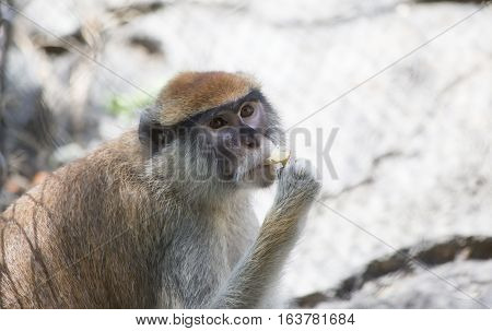 Patas monkey also called a military monkey and the red guenon eating