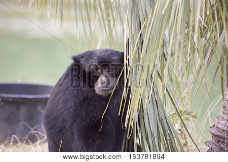 Siamang gibbon staring thoughtfully into the distance