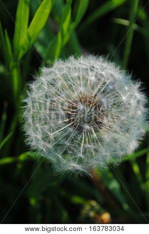 Flower air cute white dandelion to blow him