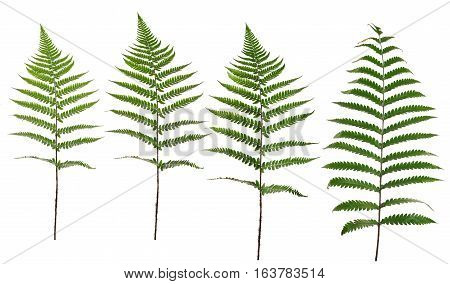 Collected Leaf Fern Isolated On White Background