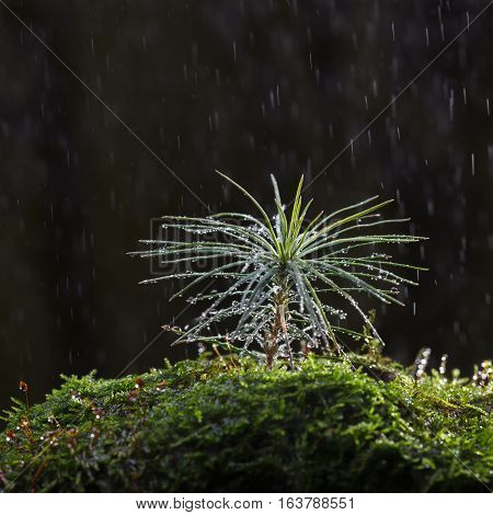 Rain And Tiny Fir Tree