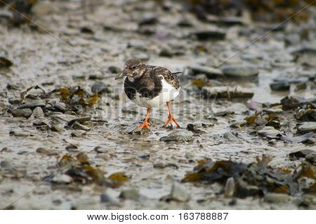 A Turnstone wading across a mudflat at low tide