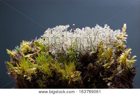 Lichen On Moss Tussock