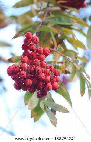 Bunch of rowan berries in autumn red