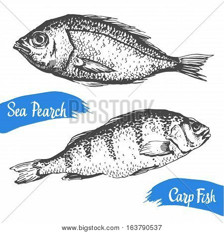 Hand drawn vector illustration with sea pearch and carp fish. Market. Seafood menu. Brush calligraphy elements for your design. Handwritten ink lettering.