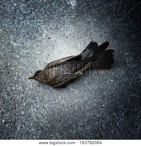 Dead pigeon lying on the road, centered and square cut.
