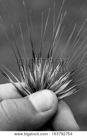 Close up of hand holding brome grass in black and white.