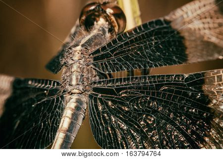 Dragonfly Black-tailed Skimmer Macro view soft focus
