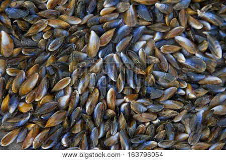 Huge pile of mussels on beach in The Netherlands