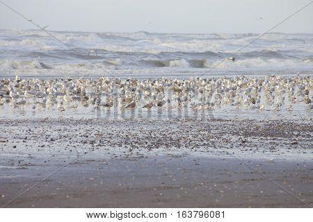 Huge group of seagulls on Dutch beach Wijk aan Zee