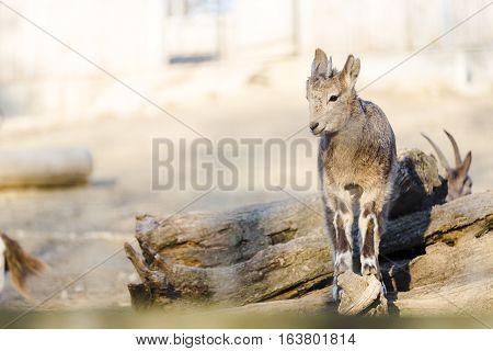 Little Mountain Goat