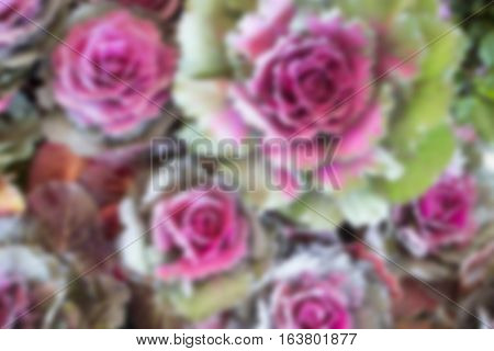 Ornamental cabbage display in food festival stock photo