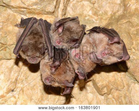 Lesser Horseshoe Bat (Rhinolophus hipposideros) in cave