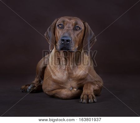 Happy brown rhodesian ridgeback dog in studio