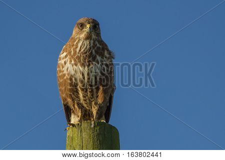 Buzzard (Buteo buteo) perched on wooden post