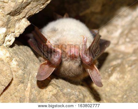 Lesser mouse-eared bat (Myotis myotis) in cave