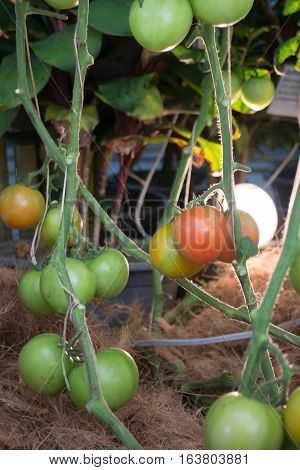 Natural tomatoes plant display in food festival stock photo